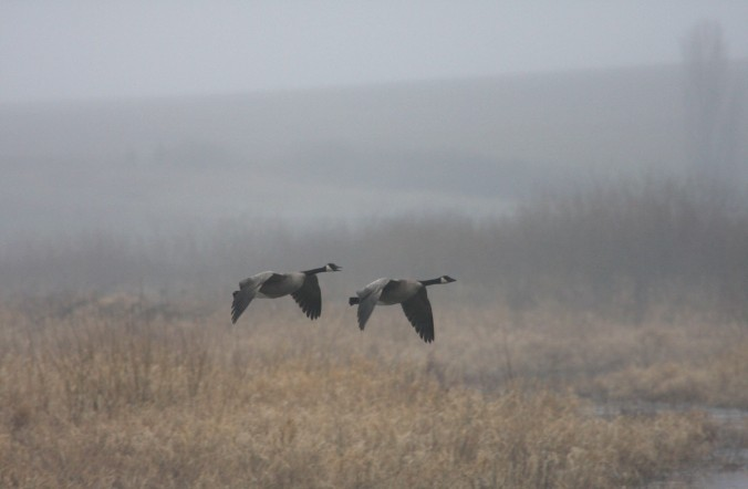 flying_canada_geese