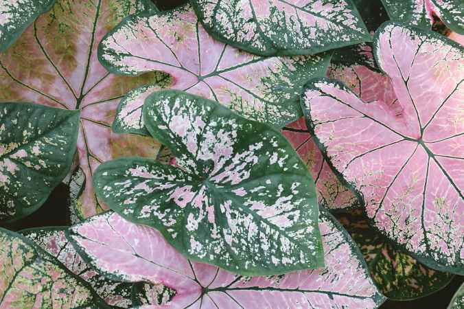 close up photo of pink and green caladium plants