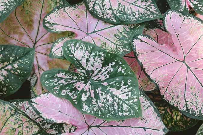 close up photo of pink and green caladium plants